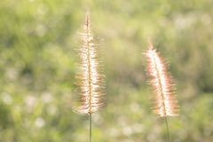 Blurred background dry grass sunset royalty free stock image