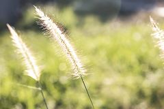 Blurred background dry grass sunset royalty free stock images