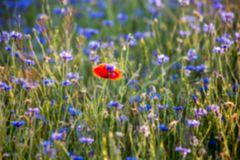 Blurred background: field with a lot of purple flowers and one red spot of another flower stock photography
