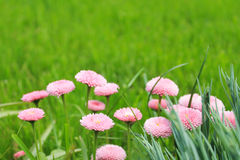 Blurred background, green with small pink flowers Stock Photography