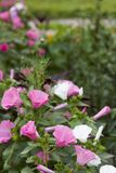 Blurred background Lavatera trimestris flowers. Blurred background Lavatera trimestris pink and white flower. Pink and white mallow flowers in summer garden Royalty Free Stock Photography