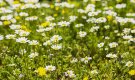 Blurred background lawn with blooming daisies Stock Photography