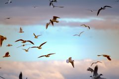 Seagulls flying at sunset. Blurred background. Opportunities and beauty of flight. Many floating and gliding seagulls. Black-headed gull (Larus ridibundus). Sky Royalty Free Stock Images