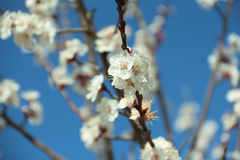 Blurred background. Peach branch with beautiful white flowers Stock Image