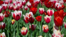 Blurred background of red and white tulips. Spring flower backdrop stock photo