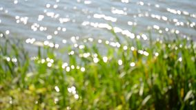 Blurred background of reeds on the bank of a lake river. Abstract blurred background of reeds on the bank of a lake river stock footage