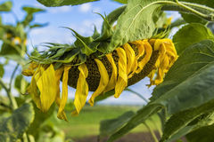 Blurred background ripe sunflower field Stock Images