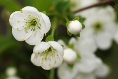 Cherry flowers macro photo. Blurred background. Wonderful and tender spring stock photo