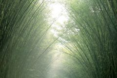 Blurred bamboo background green soft, arched arch bamboo tree blur background. The blurred bamboo background green soft, arched arch bamboo tree blur background Royalty Free Stock Photography