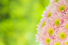 Blurred beautiful pink flowers in garden Royalty Free Stock Image