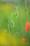 Blurred blooming poppy Royalty Free Stock Photos