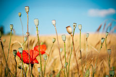 Blurred buds of poppies Stock Images