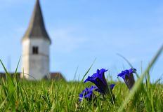 Gentiana clusii. Beautiful spring flower. Blurred Church of St. Lorenz on the Hill Gora, Slovenia, Europe, April 2018 for the background with  Beautiful spring Stock Image