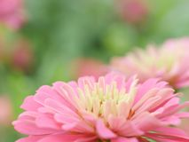 Pink flowers in the garden, background for beautiful wallpaper