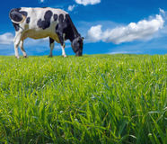 Blurred cow grazing fresh grass Royalty Free Stock Photos