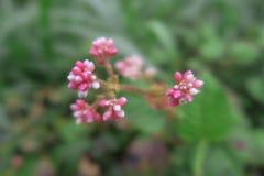 Blurred cultivar swamp milkweed flower. Asclepias incarnata Soulmate. Beautiful pink flower stock image
