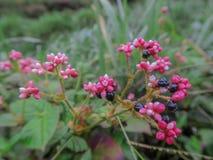 Blurred cultivar swamp milkweed flower. Asclepias incarnata Soulmate. Beautiful pink flower royalty free stock image