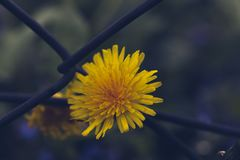 Blurred dandelion flower over iron net, toned stock images