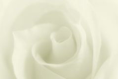 Blurred delicate rose Stock Images