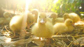 Blurred of duckling walking in the garden royalty free stock image