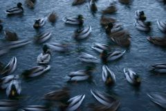 Blurred ducks in water. A blurred view of a group or flock of ducks swimming haphazardly about in water nearby Stock Photo