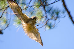 Blurred in-flight raptor catching prey Royalty Free Stock Image