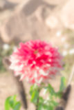 Blurred flower in the garden Royalty Free Stock Image