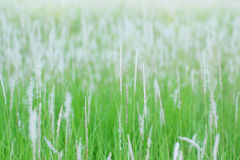 Blurred flower grass, abstract background Royalty Free Stock Image