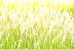 Blurred flower grass at evening Royalty Free Stock Photo