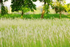 Blurred flower grass in grassland as background Royalty Free Stock Image