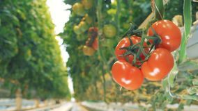 Blurred frame of greenery`s passway is rapidly transforming into distinct frame of tomatoes` cluster. 4K stock video