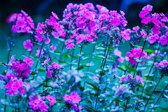Blurred garden phlox flowers fuchsia color. Floral artistic photo with blue, green gentle background. Air, pink blooming flowers on tall stems. Romantic summer stock image