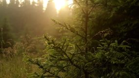 Blurred grass with water on pine tree stock video