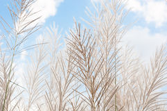 Blurred grayish grass flower on blue sky Stock Photos