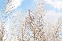 Blurred grayish grass flower on blue sky Stock Photos