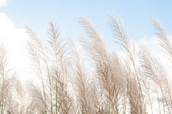 Blurred grayish grass flower on blue sky Stock Images
