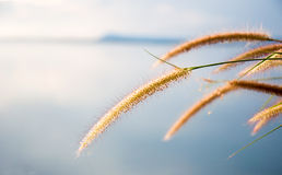 Blurred grayish grass flower on blue sky Royalty Free Stock Photo