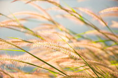 Blurred grayish grass flower on blue sky Stock Photo