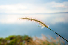 Blurred grayish grass flower on blue sky Royalty Free Stock Photography