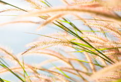 Blurred grayish grass flower on blue sky Stock Image