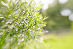 Blurred green background with branches of willow. Royalty Free Stock Images