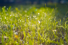 Blurred green background consists of a green lush grass with dew Stock Photo