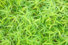 Blurred green bamboo leaf Stock Photography