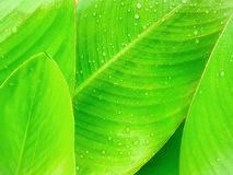 Green banana leaf with water drop, Banana leaf pattern wallpaper background. Blurred of green banana leaf with water drop, Banana leaf pattern wallpaper royalty free stock photo