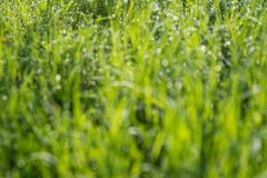 Blurred green grass background. Abstract blurred background with grass and sunlight and dew drops Stock Image