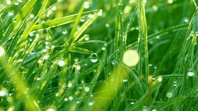 Blurred green grass background with the water drops and morning dew close up view stock video