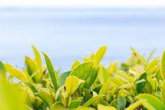 Blurred green leaves background at near the sea Stock Images