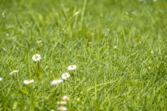 Blurred Green Summer background With Daisies flowers and green grass and water drops flying.  Royalty Free Stock Images