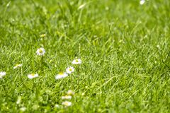 Blurred Green Summer background With Daisies flowers and green grass and water drops flying.  Royalty Free Stock Image