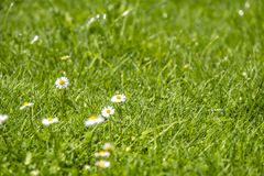 Blurred Green Summer background With Daisies flowers and green grass and water drops flying.  Royalty Free Stock Photo